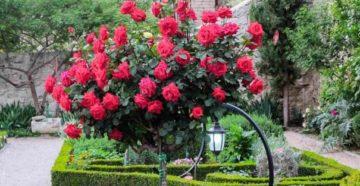 Парковая роза: знакомство с видами и особенностями высадки